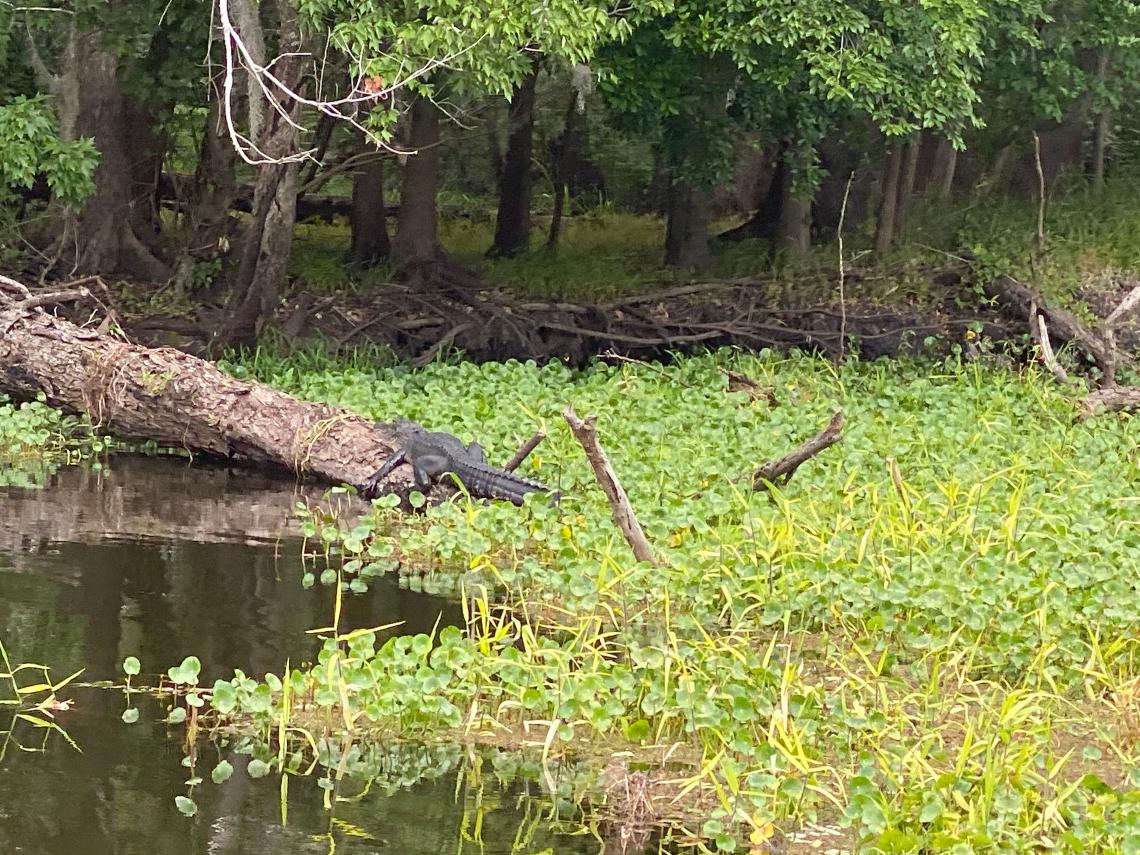 Gator on a log