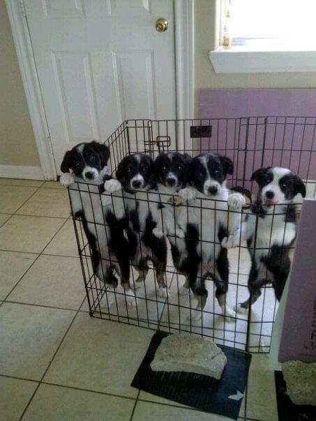 Border Collie Babies
