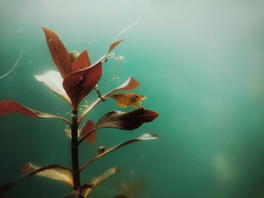 Shrimp on a leaf