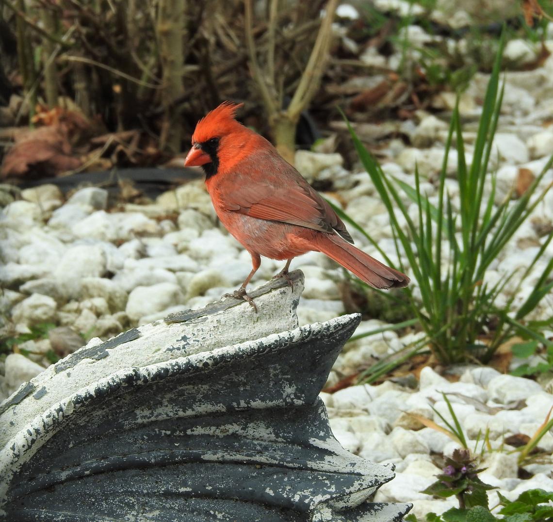 State Bird (Indiana)